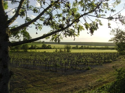 Evening view over vines from villa patio